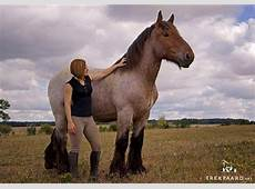 Buying a Belgian Brabant Draft horse