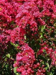 Blühende Hecke Schnellwachsend : ist die lagerstroemia winterhart tipps zur sommer und winterpflege mediterrane pflanzen ~ Eleganceandgraceweddings.com Haus und Dekorationen