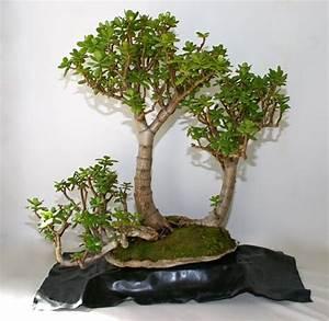 Pflege Von Bonsai Bäumchen : crassula ovata der geldbaum als zimmer bonsai ~ Sanjose-hotels-ca.com Haus und Dekorationen