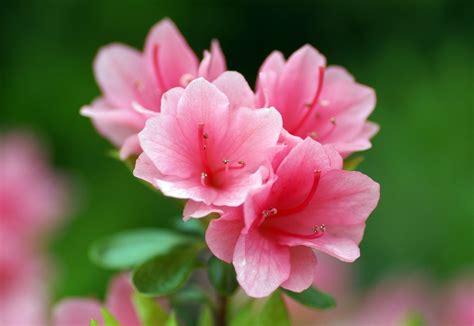 Azalea Flowers Hd Wallpapers