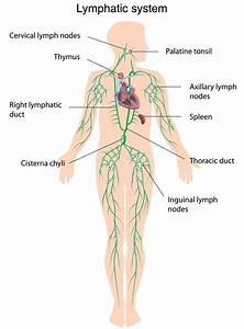 Face Lymph Nodes Map
