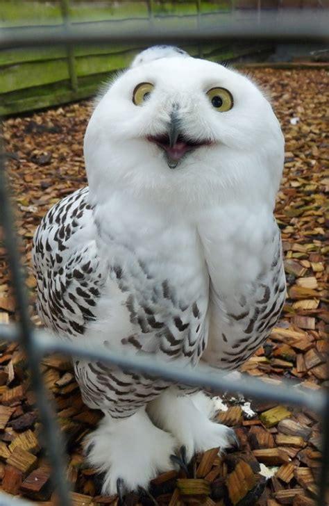 owl as a pet exotic pets pethelpful