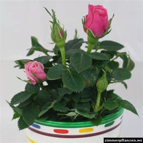 zimmerrosen im topf pflege im topf rosa