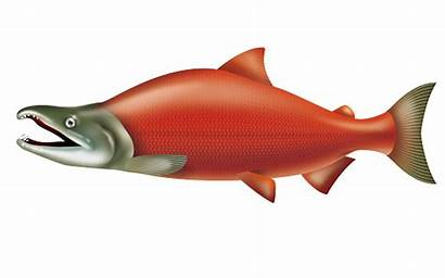 Salmon Sockeye Clip Clipart Vector Illustration Illustrations