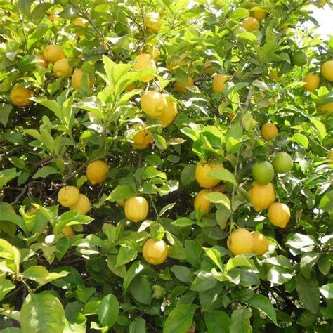 quand tailler un citronnier 4 saisons en pot citronnier saison