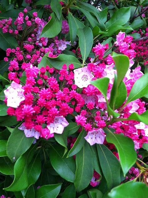 pictures of mountain laurel shrubs mountain laurel kalmia latifolia bing images
