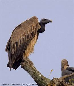 Oriental Bird Club Image Database : Slender-billed Vulture ...