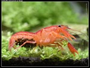 Welche Fische Passen Zusammen Aquarium : fische garnelen krebse der nano aquarium besatz ~ Lizthompson.info Haus und Dekorationen