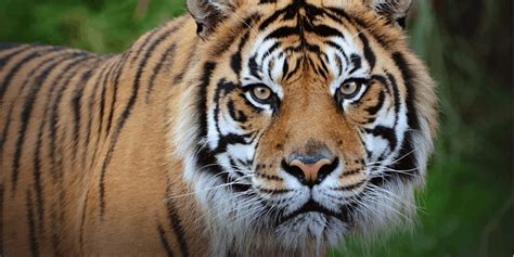 Tiger Photo by Tigers National Geographic