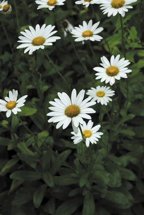 splitting shasta daisies pruning a shasta daisy when and how do i prune shasta daisies the o jays flower and daisies