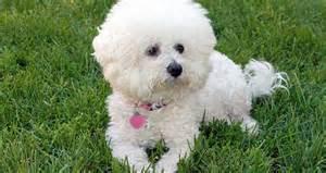 large non shedding hypoallergenic dog breeds dog breeds