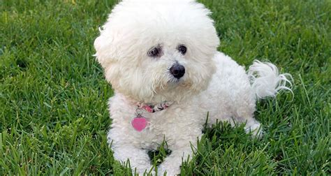 all non shedding hypoallergenic breeds large non shedding hypoallergenic breeds breeds