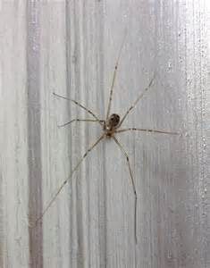 light brown spider light brown spider with black spots and bands on legs