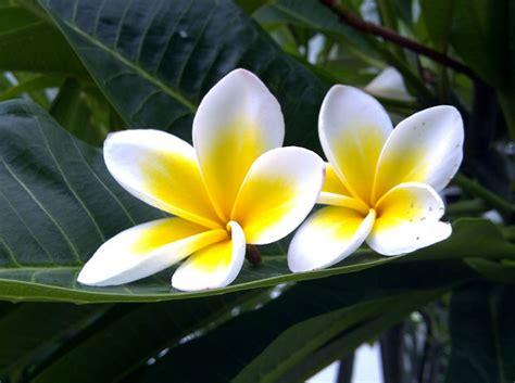 manfaat khasiat bunga kamboja putih
