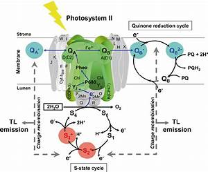 1  Diagram Of Photosystem Ii  Ps Ii  Representing The