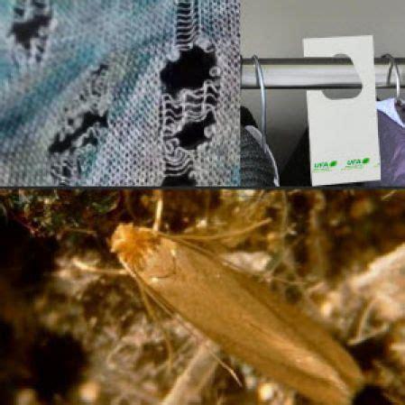 Trichokarte Schlupfwespen gegen Kleidermotten
