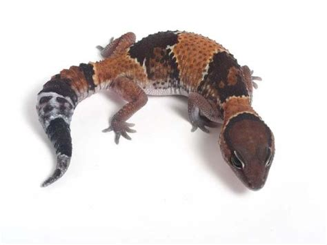 Halloween Crested Gecko by Aberrant Line African Fat Tailed Gecko 040812b Female