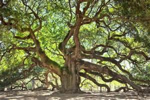 oak tree charleston south carolina usa amazing things in the world