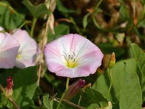 Unkraut Weiße Blüte : wildkr uter das wildkraut ~ Lizthompson.info Haus und Dekorationen