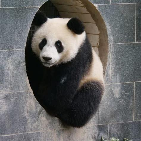 Panda Facts Pandas International
