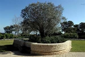 Bäume Für Kübel : olivenbaum in deutschland so gedeiht er auch hier ~ Michelbontemps.com Haus und Dekorationen
