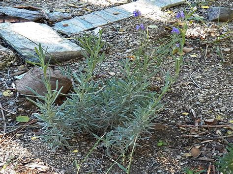 planting lavender seeds how to grow lavender from seed