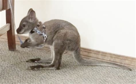 pet wallaby state gives aroostook couple permit to keep pet wallaby with conditions aroostook bangor