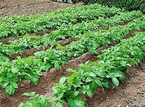 Période Pour Planter Les Pommes De Terre : cultiver les pommes de terre ~ Melissatoandfro.com Idées de Décoration