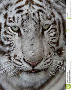White Tiger Face stock image. Image of tiger, outdoor ...
