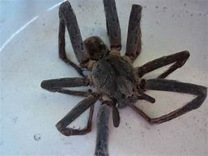 Panama Prattle: Wandering Spider: The Final Answer