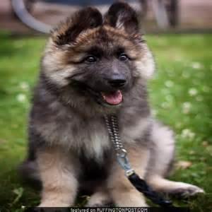 German Dog That Looks Like Bear