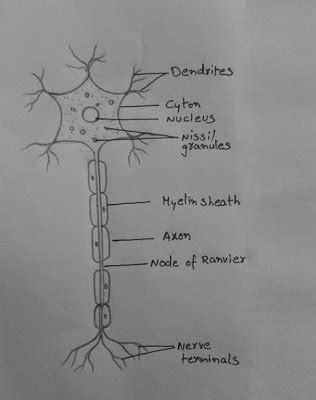 draw  neat   draw  nerve cell neuron