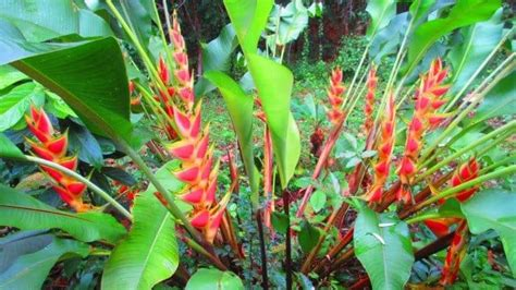 Exotic Tropical Heliconia Plants