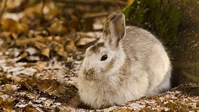 Rabbit Wallpapers Desktop Hare Wild Rabbits Hares