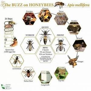 Honeybee Division Of Labor  Etc