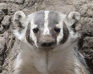 American Badger at Her Den – Mia McPherson's On The Wing ...