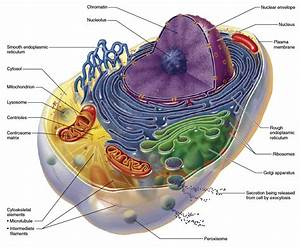 Mitochondrial Dysfunction, Nutrition and Aging | Nutrition ...