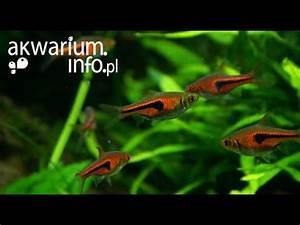 Species Profile 17 The Harlequin Rasbora Trigonosti