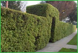 Best Evergreen Privacy Hedge Shrubs