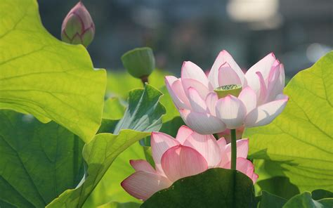 lotus flower wallpapers hdwallpaper nu