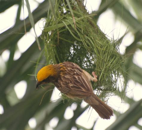 the weaver bird weaver bird or baya as it is known in hindi travel tales from india and abroad