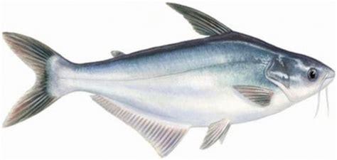 Harga Bibit Ikan Gurame Air Tawar info 11 bisnis perikanan budidaya ikan air tawar paling