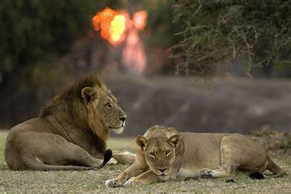 Walking Robin Pope Safaris Lion South