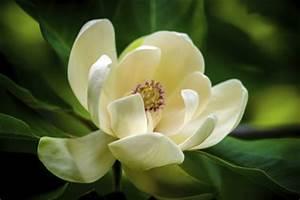 Magnolien Vermehren Durch Stecklinge : magnolie vermehren ~ Lizthompson.info Haus und Dekorationen