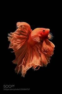 25+ best ideas about Betta fish on Pinterest | Betta ...