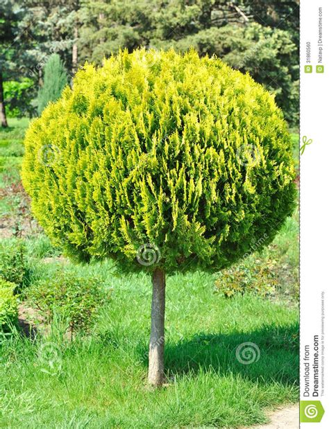 small outdoor trees small arborvitae shorn tree in the yard stock 5534