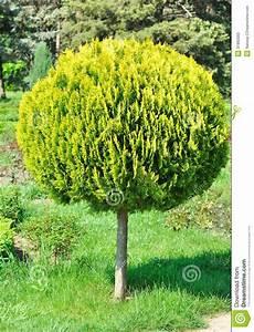Kleiner Baum Garten : kleiner arborvitae geschorener runder baum im yard ~ Lizthompson.info Haus und Dekorationen