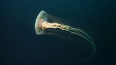 Animated Jellyfish Wallpaper - animated jellyfish wallpaper wallpapersafari