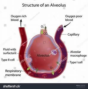 Structure Alveolus Stock Illustration 163605506