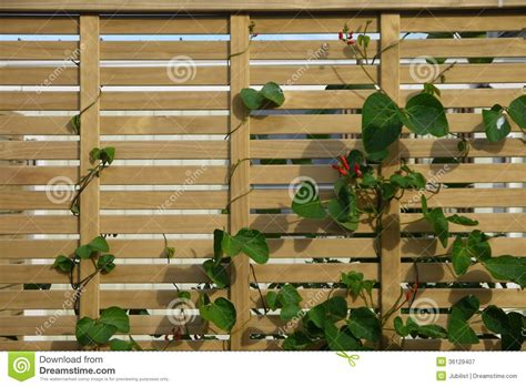 plants that grow up fences vegetable garden scarlet runner beans fence stock image image 36129407
